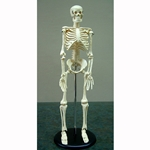 "Human Skeleton Model 15"" Tall"