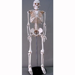 "Human Skeleton Model 33"" High"