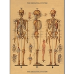 "Cavallini Papers from Italy - Skeleton Chart 20""x28"" Sheet"