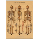 "Cavallini Decorative Paper - Skeleton Chart 20""x28"" Sheet"