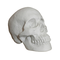 Masters Male and Female Plaster Skulls
