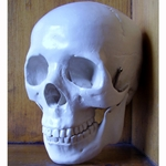 Human Male Skull with Jointed Jaw Bone (Cast Plastic)